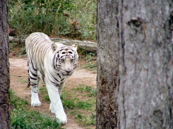 Tygrysom grozi wyginięcie