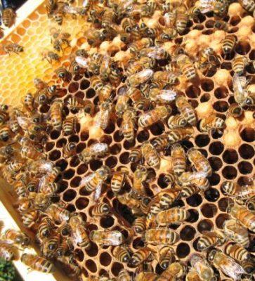 pszczoły - wymieranie