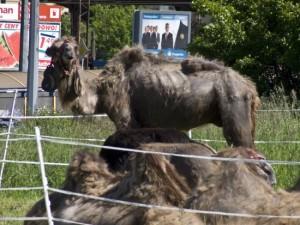 wielblad prawa zwierzat ochrona zwierzat 300x225 Ochrona praw zwierząt