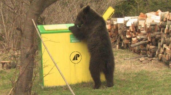 niedźwiedź - bieszczady
