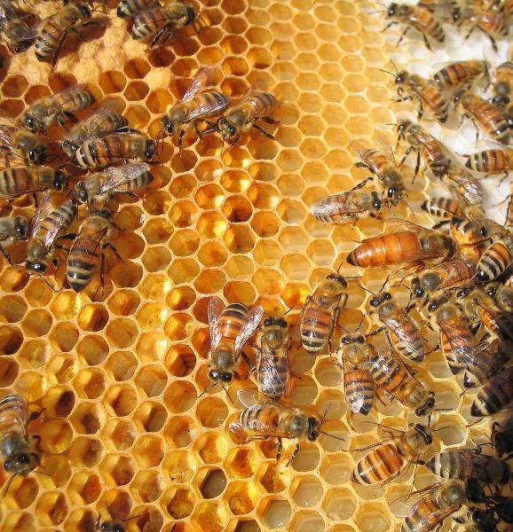 Pszczoły (Fot. Sxc.hu)