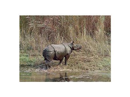 nosorożec jawajski
