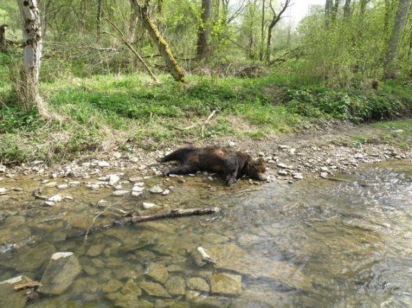 Martwy niedźwiedź w Bieszczadach / Zdjęcie arch. Nadleśnictwa Lesko
