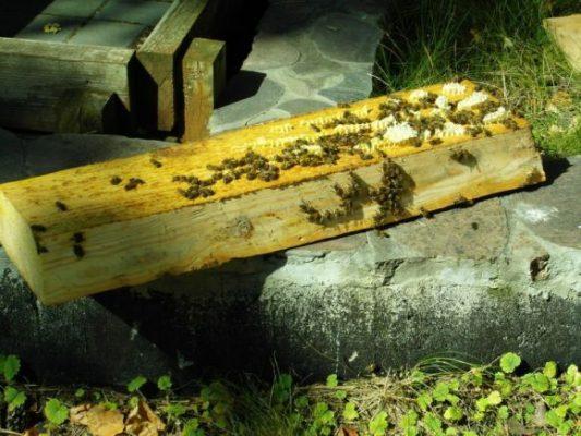 pszczoły - kłoda bartna -bartnictwo