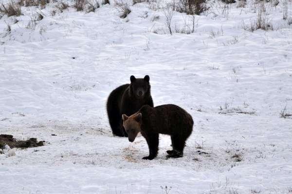 Niedźwiedzie w bieszczadzkich lasach / Fot. Tomasz Baran