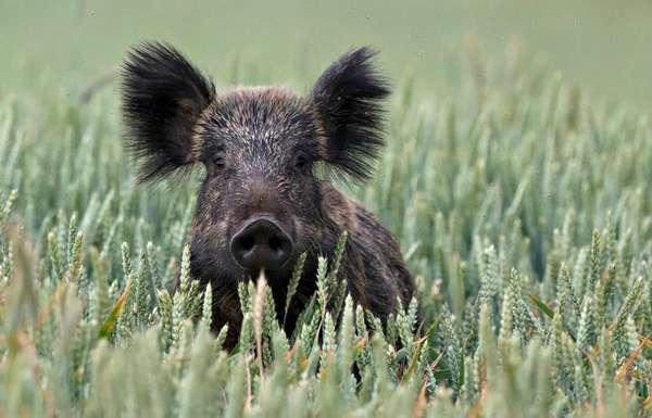 dzik - afrykański pomór świń