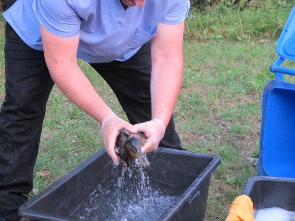 Po kąpieli kaczki wróciły do czystej już rzeki