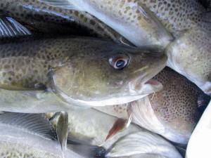 dorsz - zarządzanie zasobami rybnymi