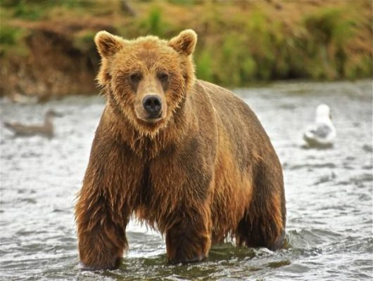 niedźwiedź brunanty