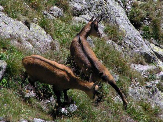 kozice w Tatrach - liczenie kozic