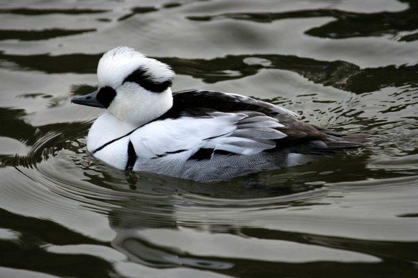 bielaczki - ptaki wodne