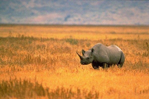 nosorożec czarny - gatunki zagrożone wyginięciem