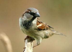 wróbel - ptaki miejskie