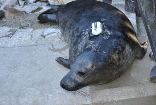 młode foki szare - Piachu