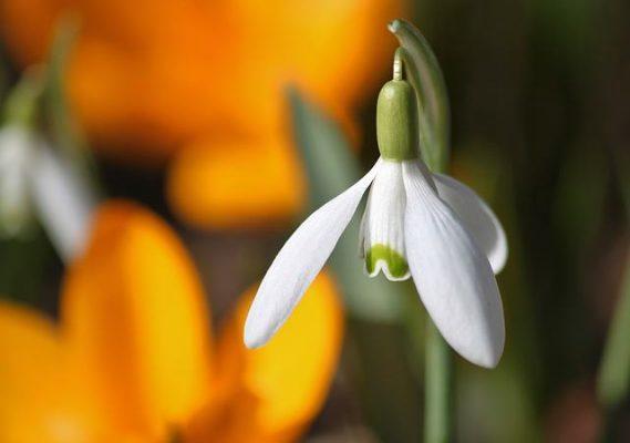 przebiśnieg - kwiaty