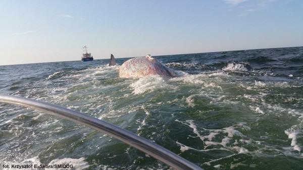 martwy wieloryb w Zatoce Gdańskiej