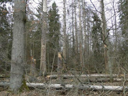 korniki - puszcza białowieska