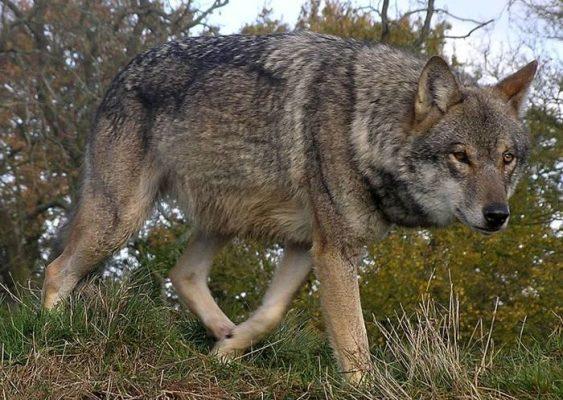 wilk europejski