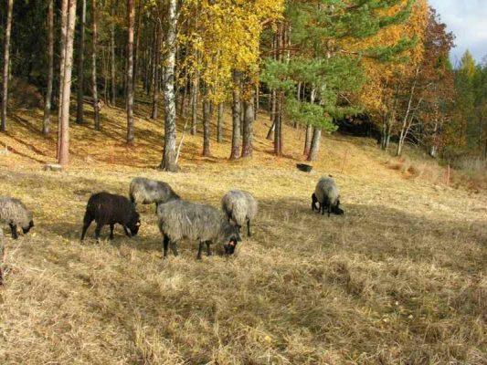 owce wrzosówki - odtwarzanie murawy kserotermicznej