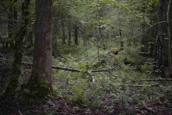 """rezerwat przyrody """"Wiązy Reskie"""""""
