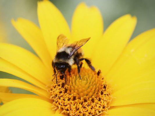 owady zapylające - ochrona - pszczoła
