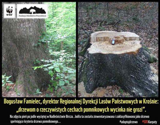pomnikowa jodła - wycinka drzew