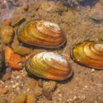 skójka gruboskorupowa - małże
