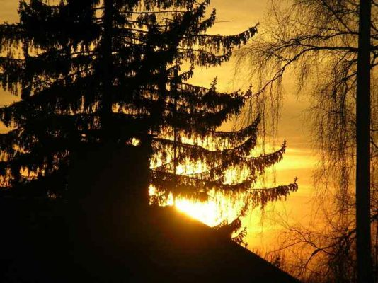 świerk - gradacja kornika - las