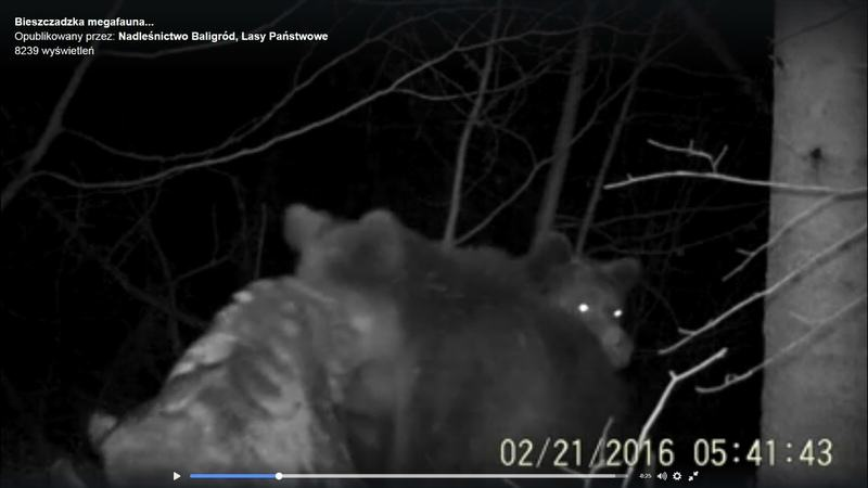 bieszczadzkie niedźwiedzie