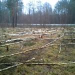 bobry - wycinka lasu - zrąb całkowity