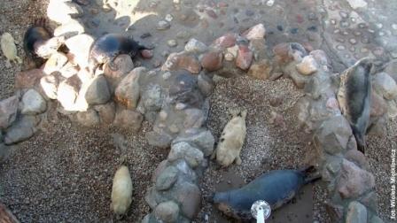 focza rodzina - stacja morska - hel - foki szare