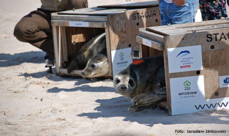 wypuszczenie - foki szare