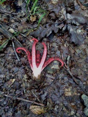 okratek australijski - grzyb