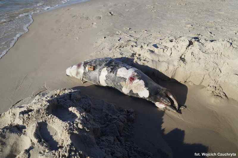martwa foka szara Ostoja - Lubiatowoe