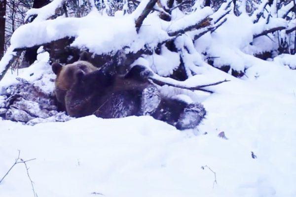 bieszczadzki niedźwiedź - zima