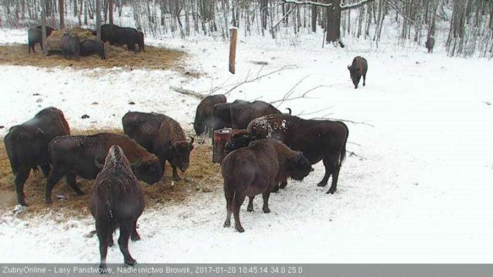 liczenie żubrów - puszcza białowieska