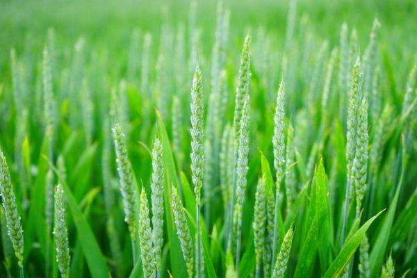 ubezpieczenia upraw - uprawy