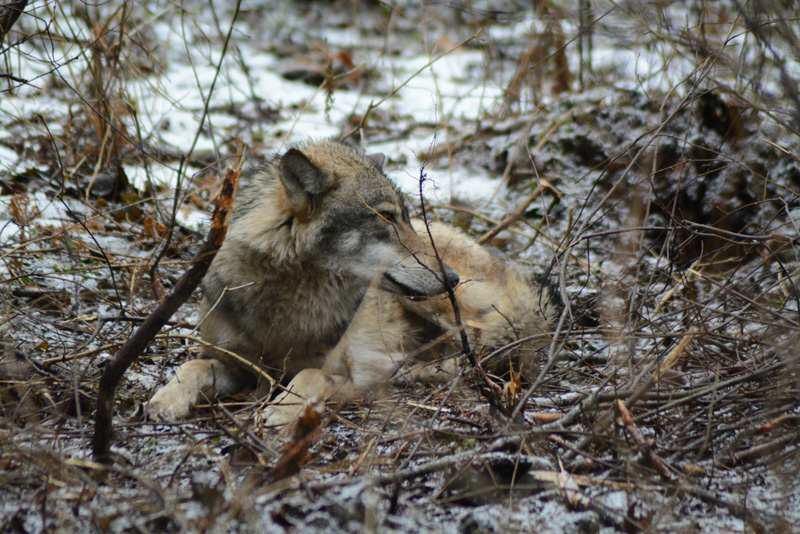 wilk - kłusownictwo