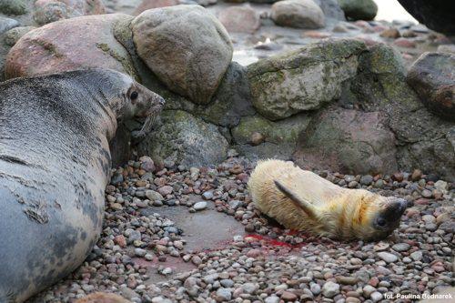foka szara Ewa i młoda foka Pływacz