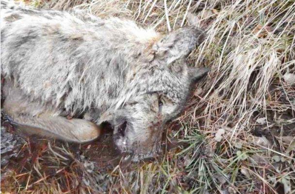 martwy wilk - kłusownictwo