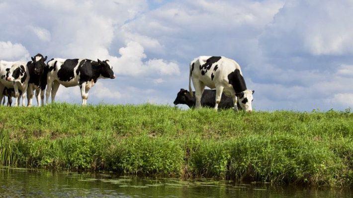 krowy nad rzeką - rolnictwo