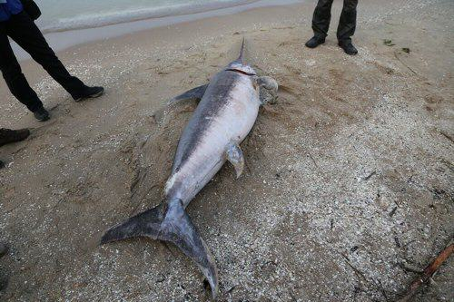 ryba miecznik znaleziona w Jantarze