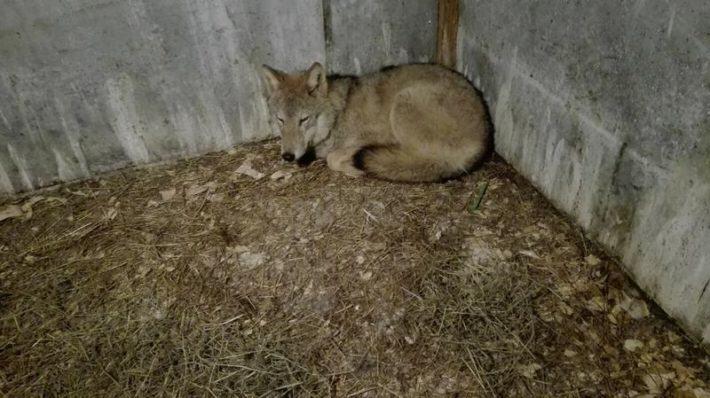 młody wilk w wolierze