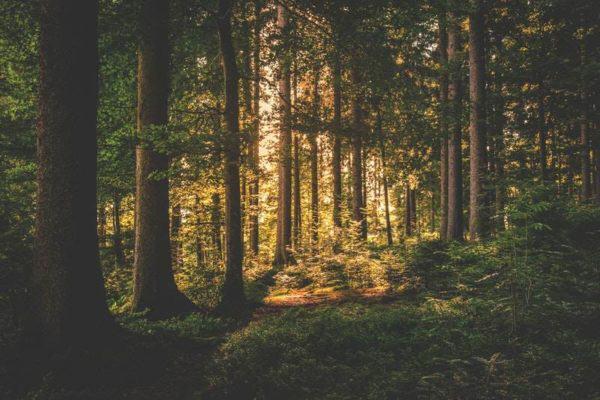 Puszcza - las