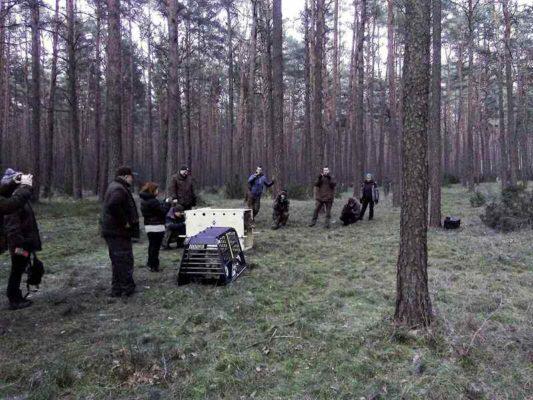 wypuszczenie wilków na wolność