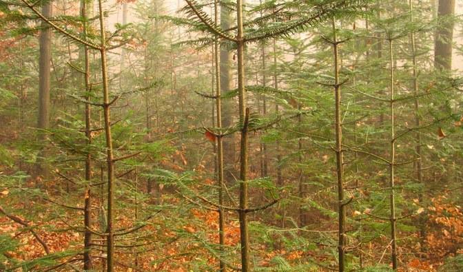 ogołocone drzewka iglaste w lesie