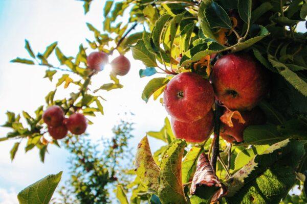 Czerwone jabłka na gałęzi drzewa podświetlone w tle słońcem