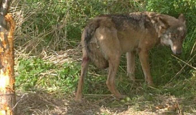wilk uwięziony w stalowym drucie