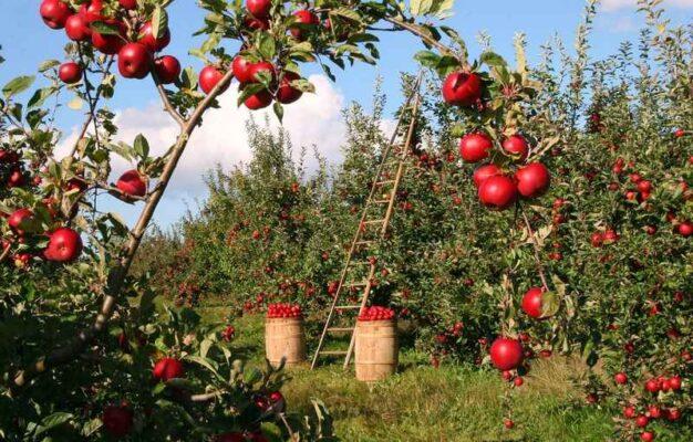 sad z jabłoniami - jabłka na gałęziach