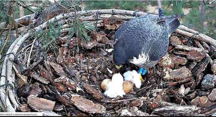 sokół wędrowny w gnieździe z pisklęciem i jajami